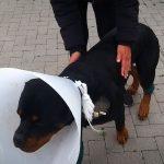 Vaddisznó támadás Szentendrén! A kutya megvédte a gazdáját, de csúnyán megsérült