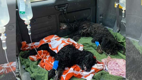 Megmérgeztek 4 kutyát, a pulik gazdája 100 ezer forintot ajánlott fel annak, aki segít megtalálni az elkövetőt
