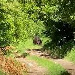 Újabb vaddisznó-meglepetés Szentendrén, már az önkormányzat is lépni kényszerült
