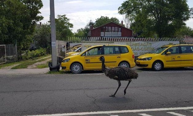 Emu szaladgált Csepelen – fotó