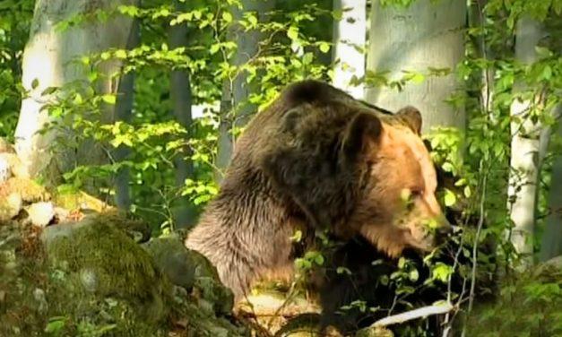 Pásztorokat támadt meg egy medve, az egyik férfi meghalt, a másik életveszélyesen megsérült, az állat még az ujjait is leharapta