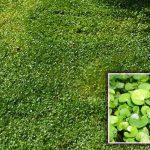 Zöld talajtakaró – a módszer amivel zöldebb lesz a pázsit