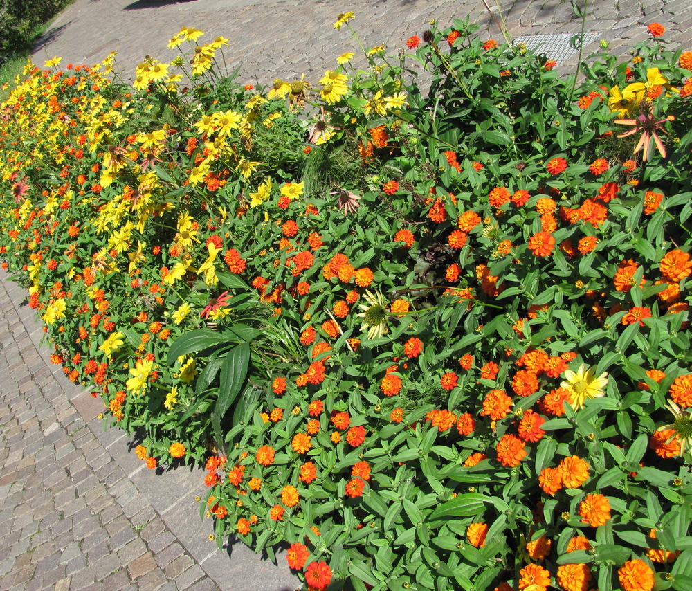 Buja sárga színek a nyárvégi kertben