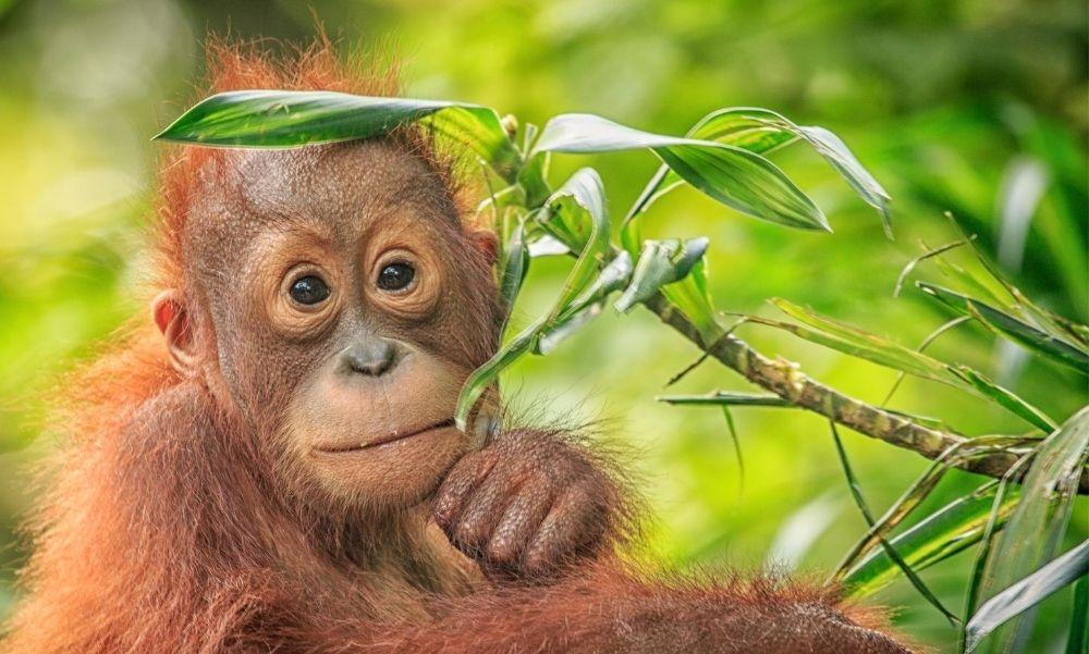 Megvan a két héttel ezelőtt született kis orangután neve – Mutatjuk!