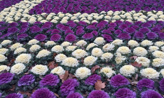 Díszkáposzta-dilemma: kertbe vagy enni?