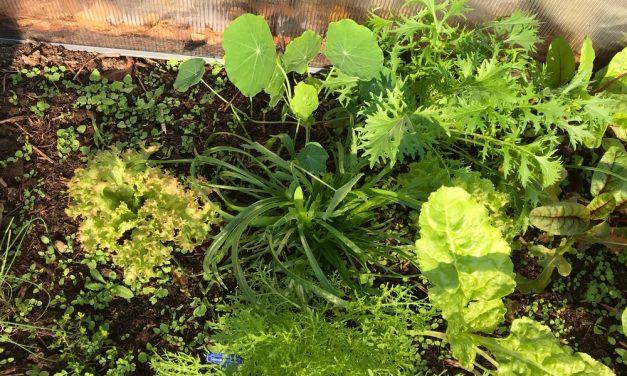 Salátát ültetni most lehetséges? Naná, most az igazi, mutatjuk, hogyan kell jól csinálni