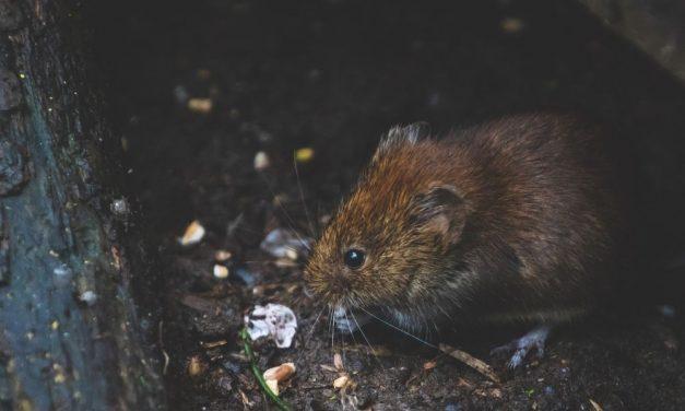 Nem lehet garantálni a patkánymentességet: ezt állítja a fővárosi patkányírtással foglalkozó cég vezetője