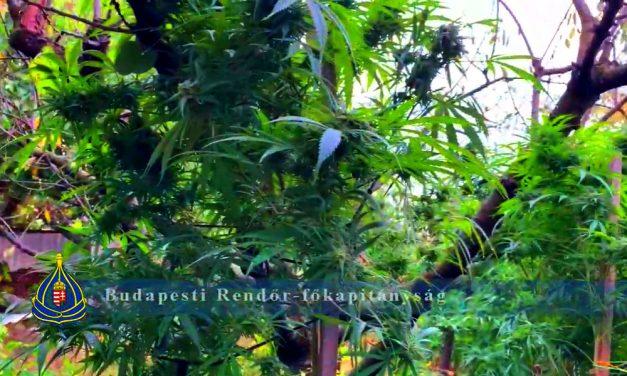 Profi kannabisz-ültetvényt lepleztek le Rákosmentén, mobilszekrényekben nőtt a kábítószernek való növény