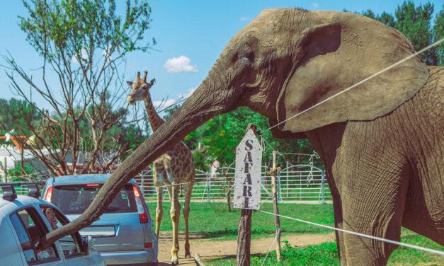 Engedély nélkül ásták el a Szadai Szafari Park elpusztult elefántjainak tetemeit