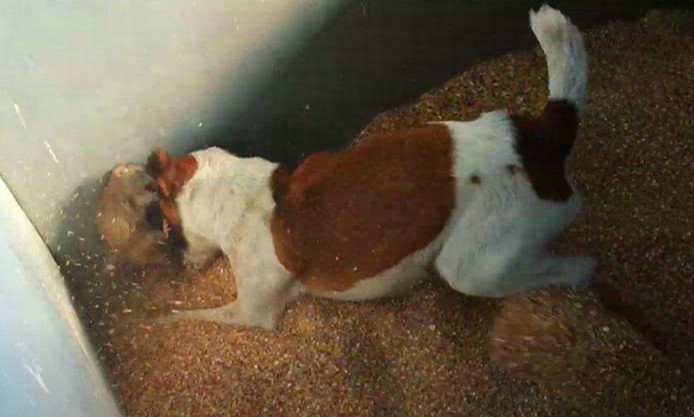 Bio patkányirtás kutyákkal és görényekkel, így szabadulhatsz meg az undorító rágcsálóktól