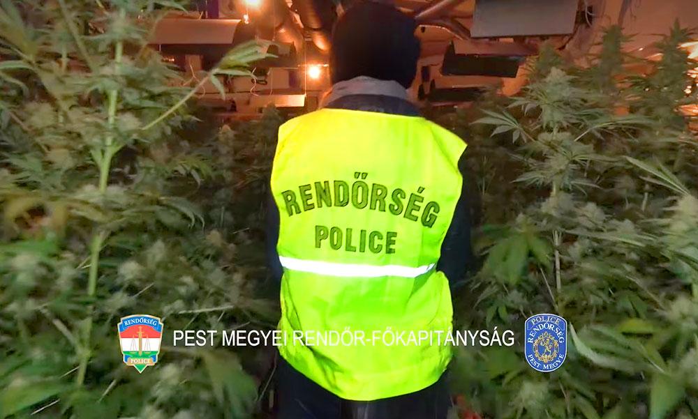 Hatalmas fogás: Több százmillió forint értékű marihuánaültetvényt számoltak fel a rendőrök a budai agglomerációban Remeteszőlősön