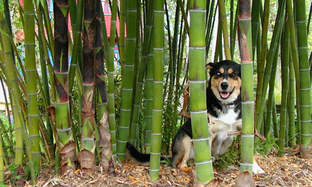 Nagyon vigyázz a bambusszal a kertben, mert ha nem figyelsz átveszi a hatalmat