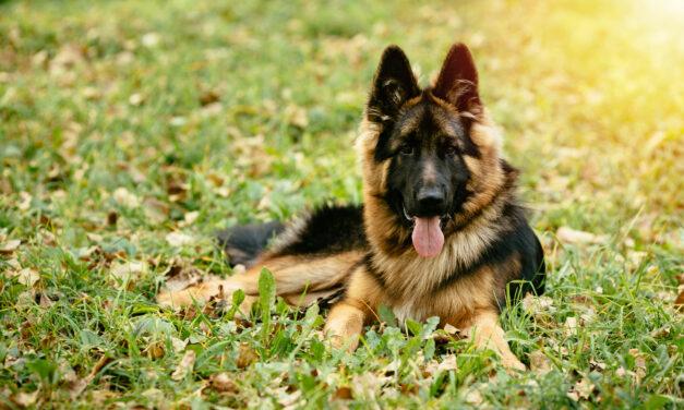 Rettenetes kínok között halhatott meg Budapesten két kutya, akiket fagyállóval átitatott étellel mérgeztek meg