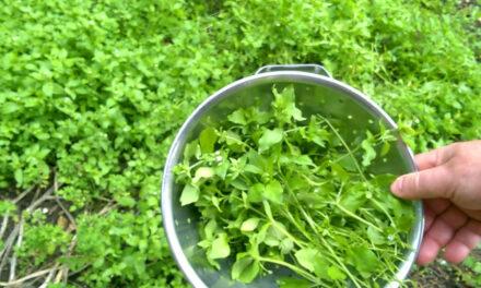 Kacsingat a tyúkhúr, harsog a csalán, vitamin az egész kert