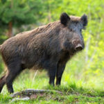 Vaddisznótámadás Pomázon, terített asztal az agglomeráció a veszélyes állatoknak