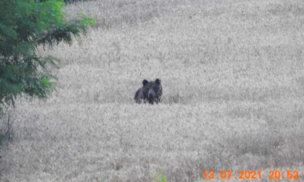 Veszélyes barnamedvét fényképeztek Budapest közvetlen közelében Nagytarcsa és Gödöllő között a mezőn