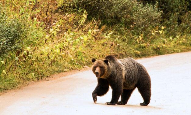 """""""Komótosan ballagott át a medve az úton Nagytarcsa felé"""" – mondta a férfi, aki közelről látta a brutálisan nagy vadállatot, közben máshol is medveriadót fújtak Budapest környékén"""