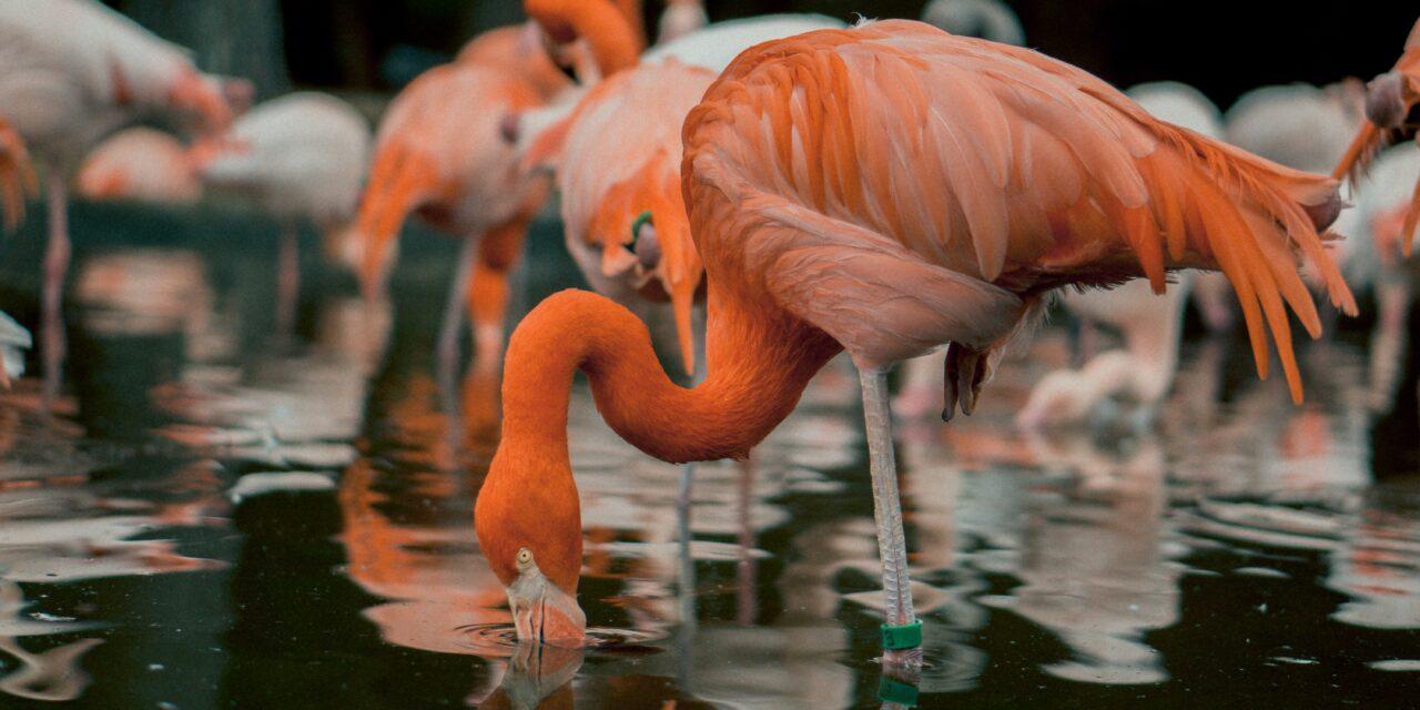 Alig nagyobbak, mint a naposcsibék: Flamingóbébik keltek ki a budapesti állatkertben – Fotón a cukiságok