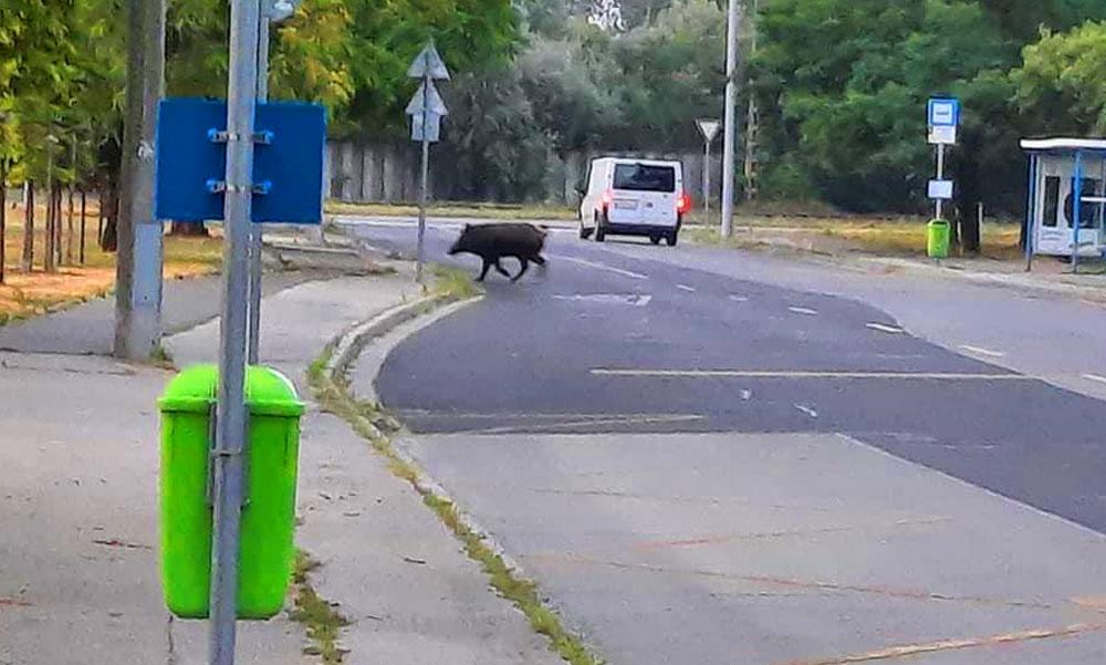 Vaddisznó szaladgált szerda reggel az újpesti utcákon, mit tegyünk ha összefutunk egy vadkannal?
