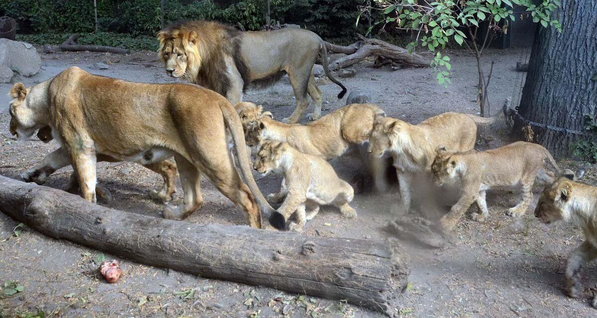 Állatkertek éjszakája, éjjeli túra Sukorón, Szentendre éjjel-nappal, Budapest és Vácrátót három napon át – állati jó pénteki programajánló