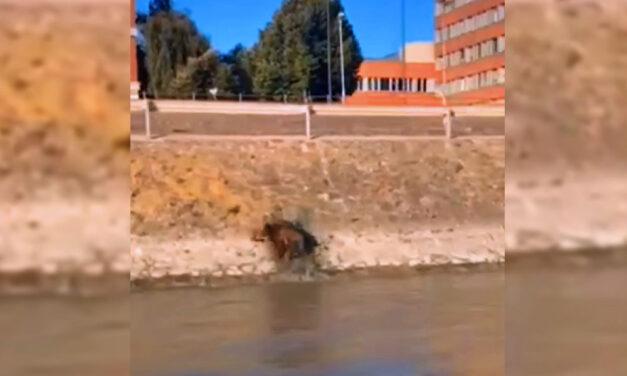 Vaddisznó úszott a Budapestnél a Dunában, a Műegyetem rakpartnál mászott ki a folyóból