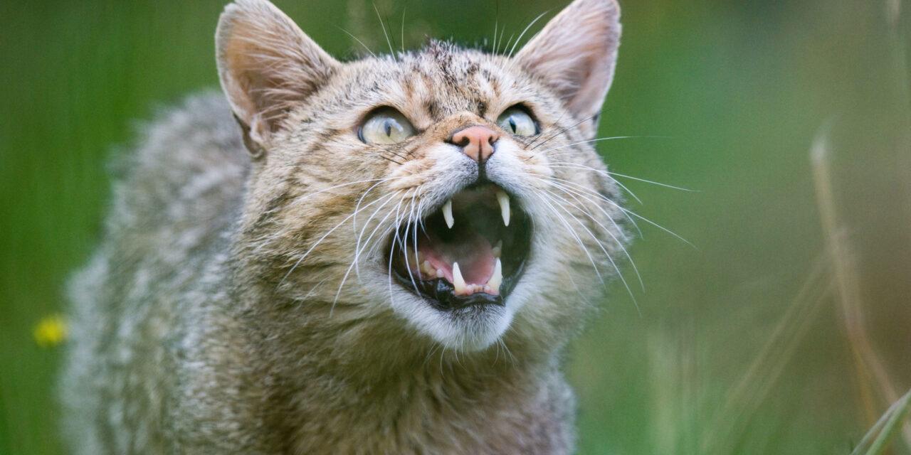 Már Budapesten is találkozhatunk vadmacskákkal, ezeket a ragadozókat nehéz megkülönböztetni a házi macskáktól
