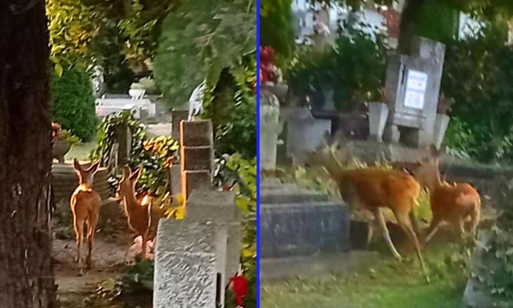 Elég volt a temetőt fosztogató őzekből! Egy kétségbeesett asszony kiakadt a csömöri polgármesterre és felszólította, tegyen már végre valamit