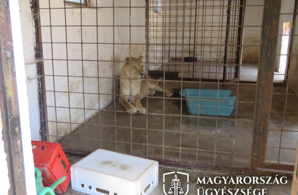 Oroszlánok, pumák, sarki rókák: mindenféle állat volt az érdi Noel Tanyán, csak éppen engedély nélkül tartották őket
